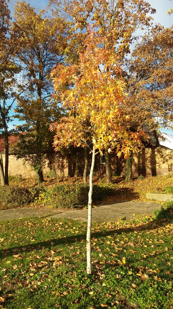Ahornbaum - ein Geschenk aus Chécy zum 20jährigen Jubiläum der Partnerschaft